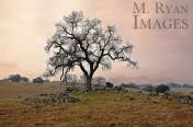 Amador Oak